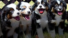 Check out our Available pages you will be sure to find some really nice mini and toy puppies for sale. While you are looking please check out our ready to go page you will see some older puppies and on the Adults for sale page we have some really nice dogs for sale.