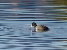 American Coot ©Clark Anderson. Wild Bird Company of Boulder, CO Saturday Morning Bird Walk in Boulder County - February 14, 2015.