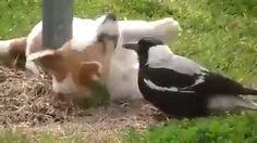 this magpie forgot it is a bird! https://video.buffer.com/v/57b16e9edfd7307d1a01977e