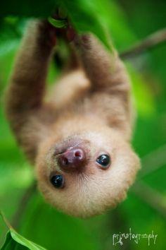 Baby Sloth Sooo Ciuuuutttteeeee!!!!!!!!!