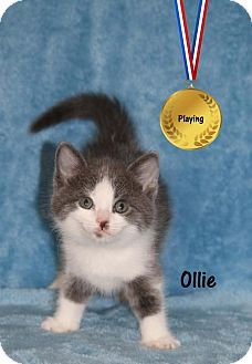 Ventura, CA - Domestic Mediumhair. Meet Ollie, a kitten for adoption…