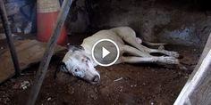 Vidéo : Ils découvrent un chien mourant dans une maison abandonnée et lui sauvent la vie