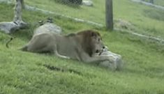 Rescued Circus Lion Feels Grass and Dirt for the First Time in 13 Years! (VIDEO)