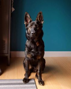 Facts On The Confident German Shepherd Dog And Kids  #germanshepherdspuppies #germanshepherdslove #germanshepherdfunny