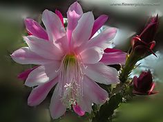 "Epiphyllum ""Ruth Wallace"""