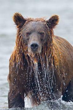 Soaked by Richard Bernabe, via 500px [Brown Bear, Katmai National Park, Alaska]