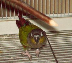 Kiwi, my green-cheeked conure, age 16.  For more photos just click on this photo