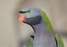 Derbyan parakeet | by gentle lemur