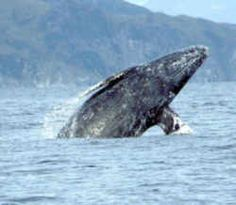 California Marine Mammal: California Gray Whale