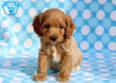 This is an adorable Cockapoo puppy who is ready to find a loving family. He has a zest for life that will make you instantly fall in love! Cockapoo Puppies For Sale, Horses And Dogs, Puppys, Labrador, Leo, Pitbulls, Cute Animals, Teddy Bear, Photography