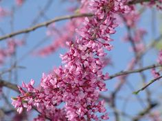 Red Bud is in full bloom here.  Another beautiful native Missouri tree.