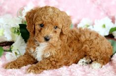 Listing Puppy for Sale Toy Puppies For Sale, Toy Poodles For Sale, Mount Joy, Gender Female, Ivy, Cute Dogs, Funny Animals, Wildlife, Beauty