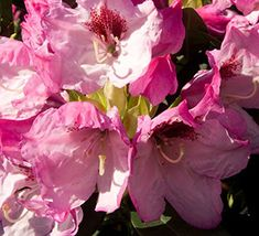 The exciting new Southgate™ Rhododendrons are heat tolerant and thrive in the Deep South while performing equally well in traditional Rhododendron areas.