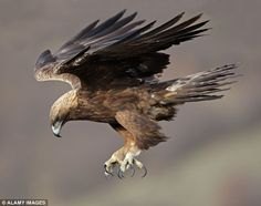 """emuwren: """" The Golden Eagle, Aquila chrysaetos, is one of the best known birds of prey in the Northern Hemisphere. The Eagles, Eagle Pictures, Animal Pictures, Beautiful Birds, Animals Beautiful, Eagle In Flight, Golden Eagle, Tier Fotos, Big Bird"""