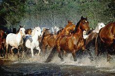 Brumby pics | ... animals, horse, horses, brumby, brumbies, creek, creeks, water, NP80