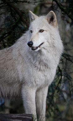 ☀Arctic White Wolf, I lov e white wolves they are beautiful