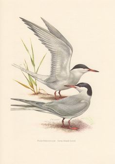 1956 Common Tern Antique Print Vintage Lithograph by Craftissimo, €12.95