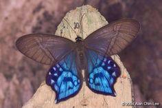 BLUE BUTTERFLIES: Lady Slipper Blue Butterfly