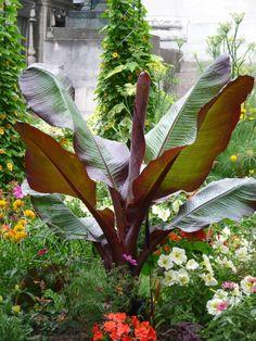 Bananier d'Abyssinie rouge (Ensete ventricosum var. Maurelii), cimetière du Père Lachaise en été, 5 août 2012, photo Alain Delavie  http://www.pariscotejardin.fr/2012/08/bananier-d-abyssinie-rouge-ensete-ventricosum-var-maurelii/