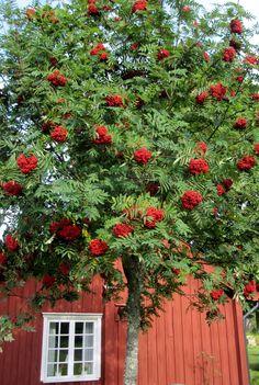 Common: European Mountain Ash Scientific: Sorbus aucuparia Zone: 3 Height: 20 to 30 Spread: 20 Deciduous Trees, Trees And Shrubs, Farm Gardens, Outdoor Gardens, Nandina Plant, Mountain Ash Tree, Patio, Backyard, Red Farmhouse