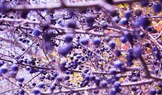 Plody trnky se barvou podobají borůvce a tvarem zase třešni. Jejich léčebné využití je opravdu široké.