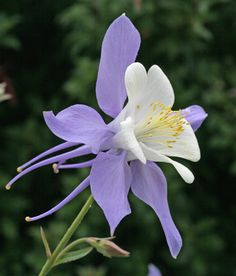 "I have no Columbines in my garden right now and I don't know why - they are romantic and beautiful.  Aquilegia caerulea ""Rocky Mountain Columbine"""