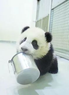 "Giant Panda cub in China ""Just in case you forgot.it's time for breakfast. I know cuz my tummy's talking. Cute Funny Animals, Cute Baby Animals, Wild Animals, Fat Panda, Baby Panda Bears, Baby Pandas, My Animal, Animals Beautiful, Animal Pictures"