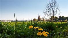 Dandelions, Buren, Betuwe, The Netherlands