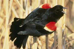 Red-winged Blackbird - Not on our creek, but sure can hear them off in the distance off of Prickly Pear