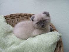 Scottish fold kittens - 22 Photo (19)