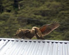 Kea fighting for a spot overlooking a picnic area -- Wanaka.