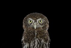 Keepers Of Wisdom: I Explore The Mystical Beauty Of Owls | Bored Panda Northern Pygmy Owl