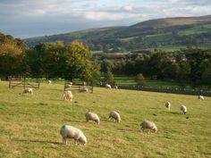 V severním Yorkshire nemůžou chybět pasoucí se ovečky
