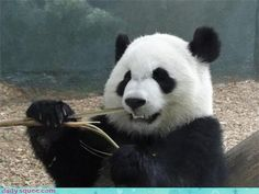 Panda is a representative animal in China. Pandas eat bamboo.