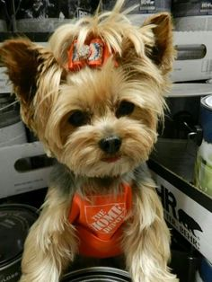 Employed doggie....may I help you? #yorkshireterrier