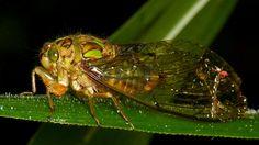 Cicada, Carineta trivettata?
