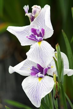 Iris--I do not know what type this is (Dutch, Japanese, etc. it is not bearded or Louisiana types) , wish the original pinner had told us.