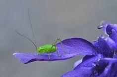 Grünes Insekt auf Akelei Animals, Insects, Animales, Animaux, Animal Memes, Animal, Animais, Dieren