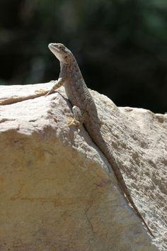 Plateau Lizard (Sceloporus tristichus)