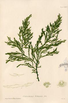 Botanical Sketchbook - Seaweed Prints Nature Printing and Microscopic detail drawing Art Electrotype Printmaking