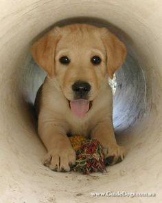 This Lab puppy cutie is coming to give you a big wet kiss!