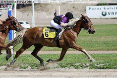 Finnhorse mare Pilssi in monté race
