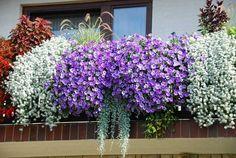 Красиво подобранные по цветовой гамме растения для балкона
