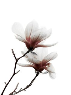 Magnolia Flower Pink White Minimalist Wall Print by galleryzooart, $45.00