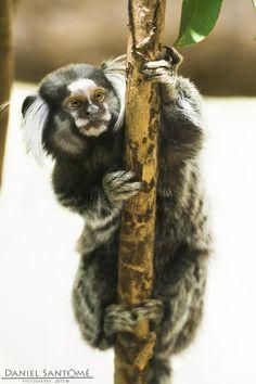 """Little Watcher"", fotografía de un tití común en el Zoo da Maia, Portugal."