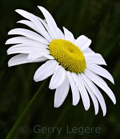daisy flower - Google Search