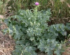 Eating Thorns- Foraging Milk Thistle | Penniless Parenting (milk thistle is a good liver detoxifier, rather mild taste)