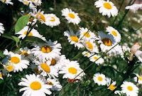 OX-EYE DAISY, SMALL HERB WITH MANY USES: HISTORY, USES AND HEALTH BENEFITS OF THE OX-EYE DAISY