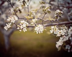 May's Promise  Blossom Photograph Spring by EyePoetryPhotography, $30.00