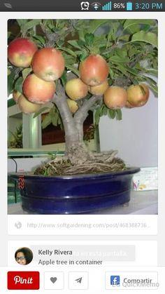Indoor Apple tree in container - Interesting. How can you bonsai an apple tree to get fruit? Fruit Garden, Edible Garden, Vegetable Garden, Garden Plants, Vegetable Meals, Plantas Bonsai, Growing Fruit Trees, Growing Plants, Fruit Trees In Containers